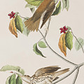 Wood Thrush by John James Audubon