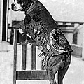 Wwi, Sergeant Stubby, American War Dog by Science Source