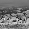 Wyoming Bighorn Brawlers - Black And White by Adam Jewell