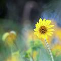 Yellow Arrowleaf Balsamroot  by Ben McLachlan