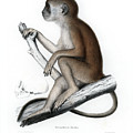 Yellow Baboon, Papio Cynocephalus by J D L Franz Wagner