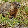 Yellow-bellied Marmot by Natural Focal Point Photography