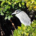 Yellow Crowned Night Heron by Rosalie Scanlon