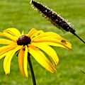 1 Yellow Daisy 2 Yellow Bugs by Andee Design