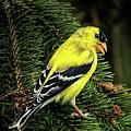 Yellow Finch by Joe Granita