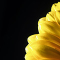 Yellow Gerbera Flower by John Williams