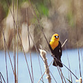 Yellow-headed Blackbird by Kathy M Krause