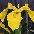 Yellow Iris by Ted Kinsman