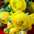 Yellow Ranunculus by Garry Gay