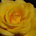 Yellow Rose  by Carol  Eliassen
