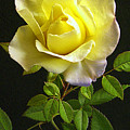 Yellow Rose by Jim Smith