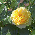 Yellow Rose  by LaMont Johnson