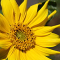 Yellow Sunflower by Christiane Schulze Art And Photography