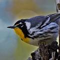 Yellow Throat Warbler by Dwight Eddington