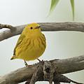 Yellow Warbler by Dennis Hammer