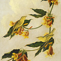 Yellow Warbler by John James Audubon