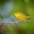 Yellow Warbler - Magee Marsh, Ohio by Jack R Perry