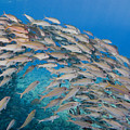 Yellowfin Goatfish by Dave Fleetham - Printscapes