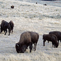 Yellowstone Bison by Michael Peychich