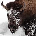 Yellowstone Buffalo by Doug Davidson