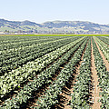 Young Broccoli Field For Seed Production by Inga Spence