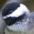 young Chickadee  by Rob Mclean