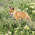 Young Red Tailed Fox by Dennis Hammer