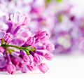 Young Spring Lilac Flowers Blooming by Michal Bednarek