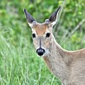Young White-tailed Buck In Velvet by Jeramey Lende