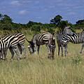 Zebra Group by Tony Murtagh