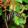 Zebra Longwing On Firebush  by Carol Bradley