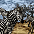 Zebra Outback  by Peter Piatt