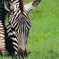 Zebra by Sebastian Musial
