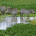 Zebras In The Swamp by Michele Burgess