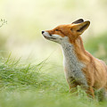 Zen Fox Series - Zen Fox by Roeselien Raimond