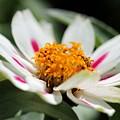 Zinnia Named Zahara Starlight Rose by J McCombie