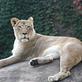 Zoo Lion by Jose Canales