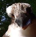 Australia - Kookaburra Up Close by Jeffrey Shaw