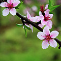 Blossoming Peach Flowers  Closeup by Carl Ning