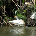 Cattle Egret Cooling Off In The Lake by Roy Williams
