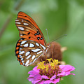 Gulf Fritillary Butterfly  by Ruth Housley