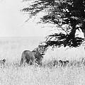 Lion by Granger
