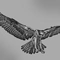 Osprey Flight by Larry Linton