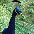 Peacock by FL collection