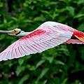 Roseate Spoonbill In Flight by Lindy Pollard