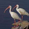 100b5790 White Ibis by Stephen Ham