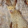 1022 Cheetah by Steve Sturgill