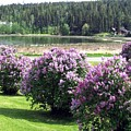103 Mile Lake Lilacs by Will Borden