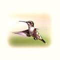 104757 - Hummingbird by Travis Truelove