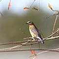 105319 - Bluebird by Travis Truelove